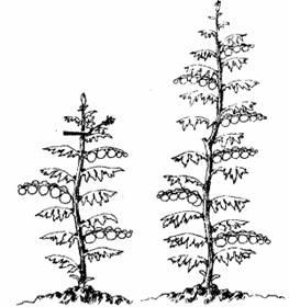 О прищипках и формировании растения.