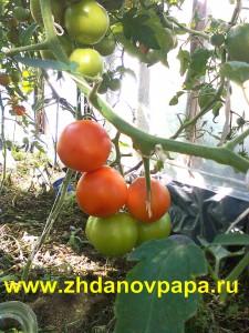 Помидоры, выращивание в грунте