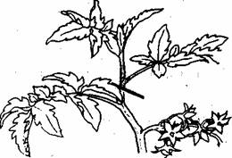 Помидоры, выращивание (продолжение)