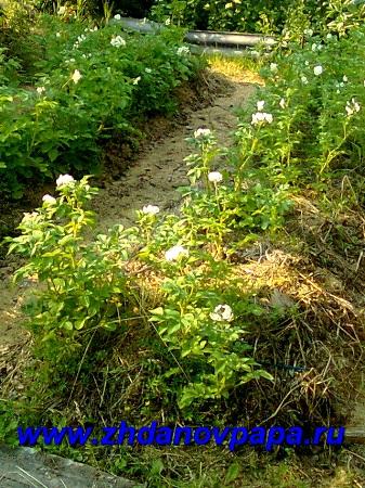 Выращивание картофеля столярный метод фото 322-654