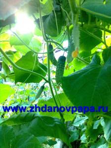 Выращивание огурцов в вопросах и ответах