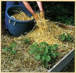 выращивание картофеля в соломе