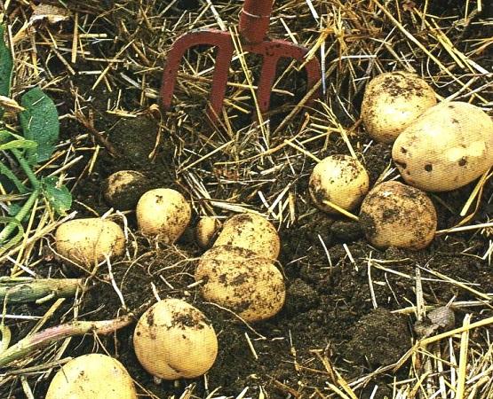 Как вырастить хороший урожай картофеля в южных районах