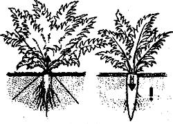 выращивание моркови 2