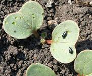 вредители капусты крестоцветные блошки