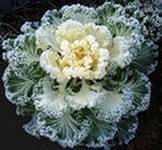 Выращивание декоративных видов капусты