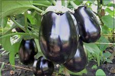баклажаны, выращивание