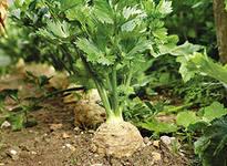 как правильно вырастить корневой сельдерей