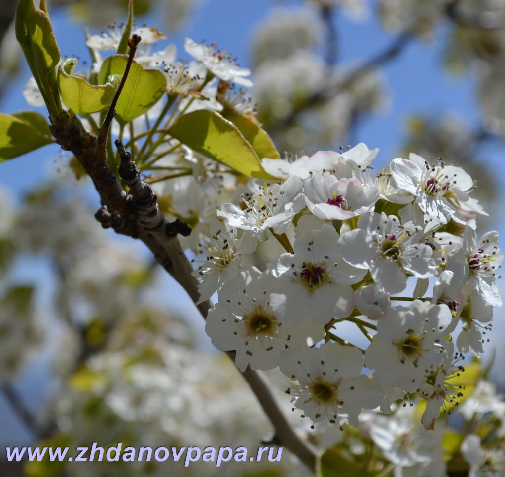 Размножение плодовых растений черенками