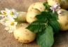 Борьба с вредителями и болезнями картофеля