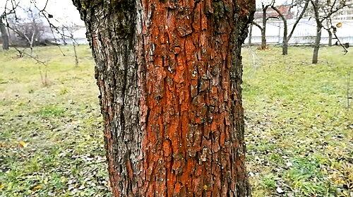 хлорелла на деревьях