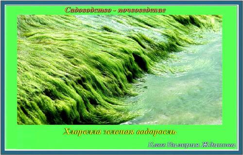 хлорелла зеленая водоросль